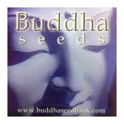 Buddha Seeds Red Dwarf 10ks / fem. autoflowering