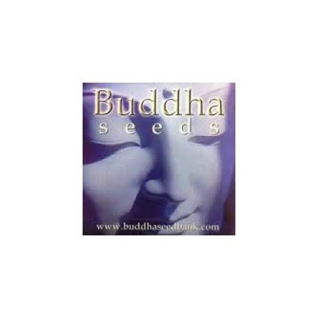 Buddha Seeds White Dwarf 10ks / fem. autoflowering
