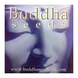 Buddha Seeds White Dwarf 15ks / stand.