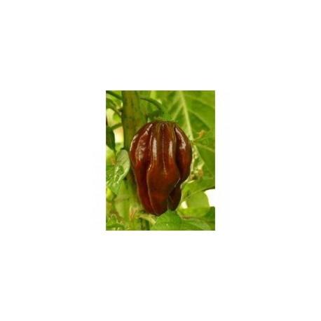 SEMO Habanero Chocolatte  15ks